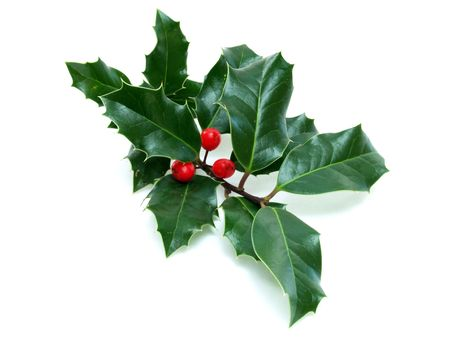 Sprig of Xmas holly with red berries