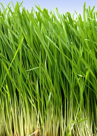 rooted: Long fresh growing wheat grass