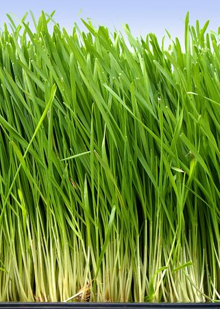 Lange frische Gras wachsen Weizen