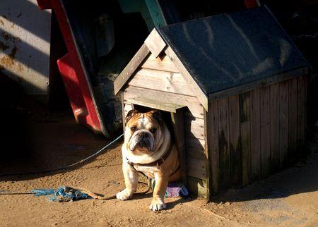 Bulldog in seinem Zwinger
