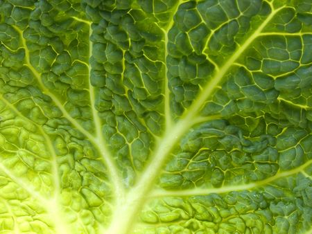 savoy: Fresh green Savoy cabbage leaf