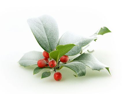 Holly branch with frosted red berries photo