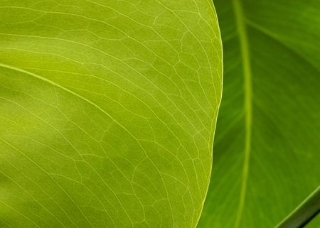 unfold: New rubber plant green leaf  Stock Photo
