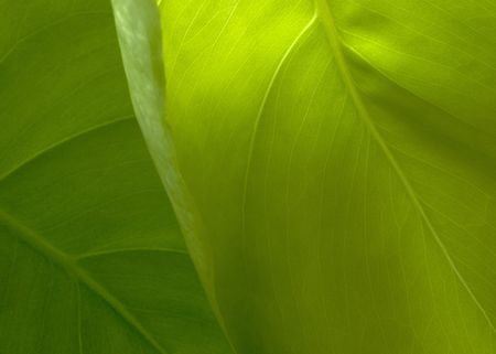 rubber plant: New rubber plant green leaf  Stock Photo