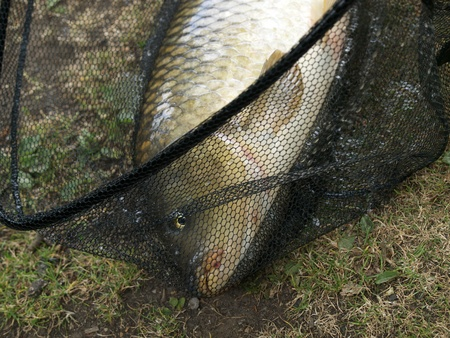 Netted carp photo