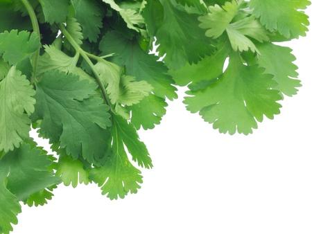 cilantro: Hojas de cilantro verde en blanco