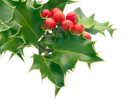 christmas holly: Holly Sprig on white