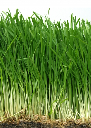 grass roots: Long green wheat grass with roots