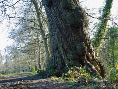 gnarled: Gnarled sweet chestnut tree Stock Photo