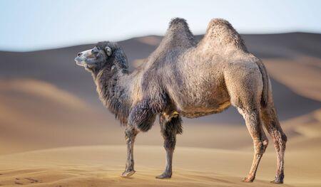 Camel in sand desert. Dunes in background.
