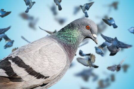 Close view on pigeon. Many pigeons flying in background.