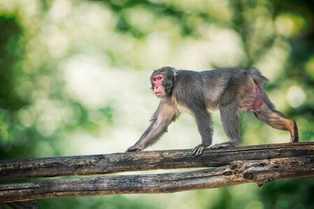 Macaque monkey is climbing on branch of tree in forest.