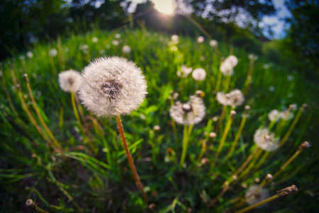 Dandelion seeds in meadow at summer. High contrast picture.