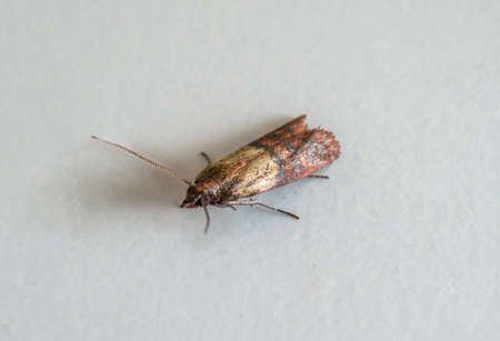 Close-up view on indian-meal moth on white background.
