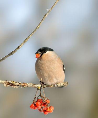 ashberry: Eurasian Bullfinch ( Pyrrhula pyrrhula )