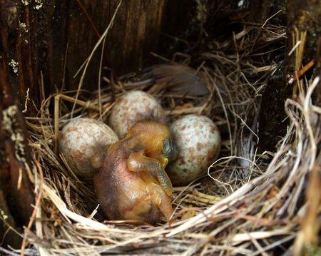 nestling: Nestling