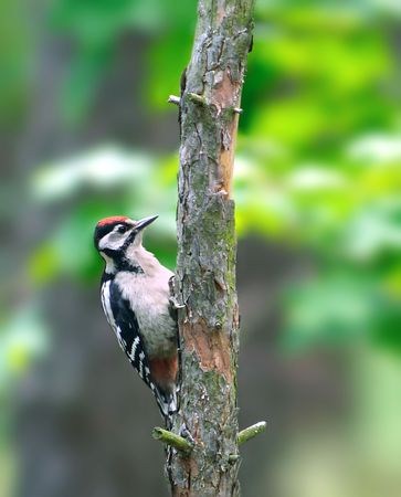 dendrocopos: Great Spotted Woodpecker ( Dendrocopos major ) Stock Photo