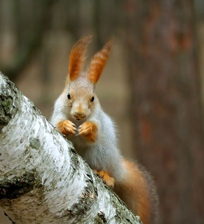 sciurus: Squirrel ( Sciurus ) Stock Photo