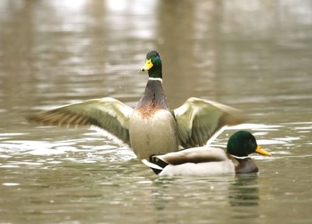 anas: Mallard ( Anas platyrhynchos ) Stock Photo