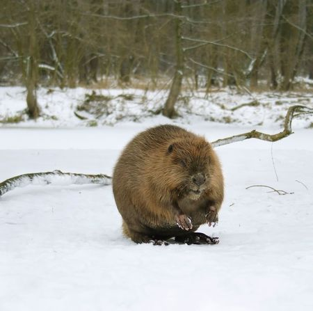 castor: European beaver ( Castor fiber )