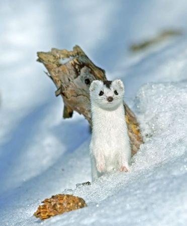 weasel: Weasel ( Mustela nivalis nivalis )