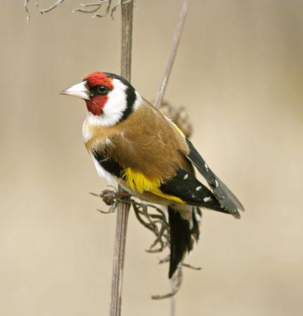 Goldfinch. Russia, Voronezh area. photo