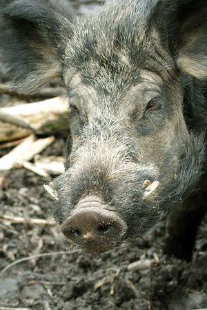 scrofa: Wild Boar ( Sus scrofa ) Stock Photo