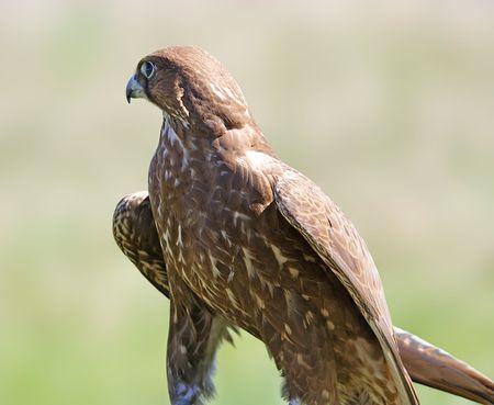 cherrug: Falcon