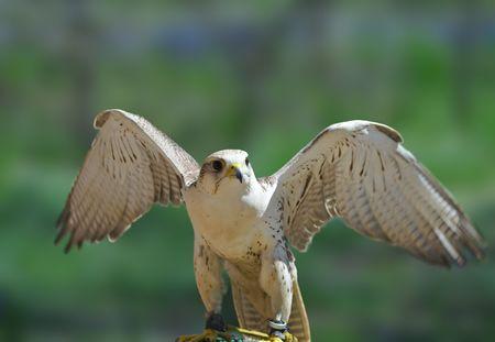 falconry: Falcon