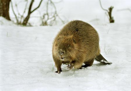 castoro: Europeo castoro (Castor fiber)