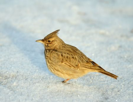 tufted: Tufted lark Stock Photo