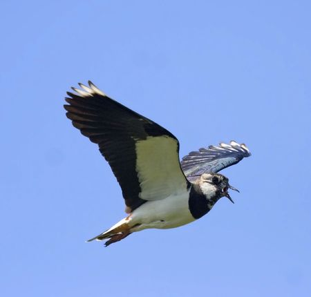 lapwing: Lapwing in flight over the blue background
