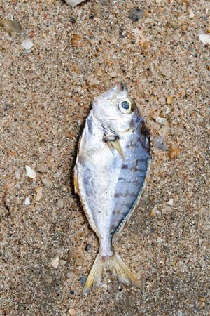 smother: Dead fish on sand background