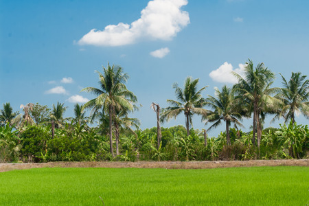 Rice fields mixtures of plant species with blue sky background photo