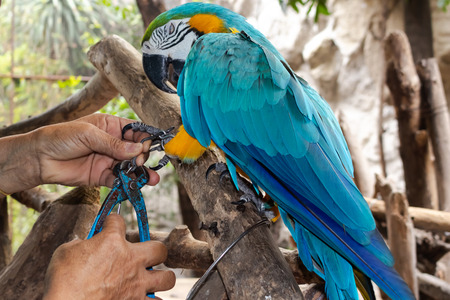 Macaw bird is angry while being chained by the rancher around with natural tree