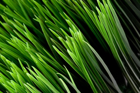 fescue: Tilted close-up view of blades of green grass