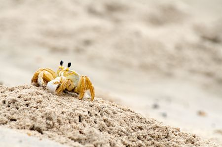 pinchers: Horizontal image of a sand crab on the move