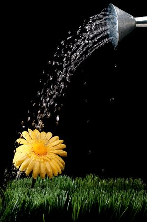 A yellow daisy being watered on black Imagens