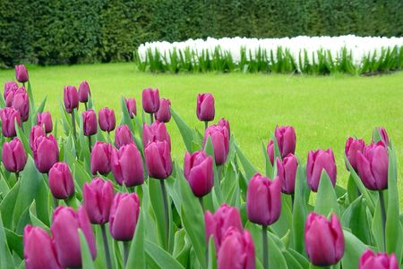 lisse: Flower ingediend in Keukenhof
