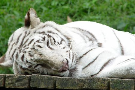 White tiger Stock Photo - 698505