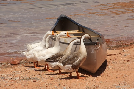 check out: Five geese check out a canoe beached at Lake Powell in Arizona.