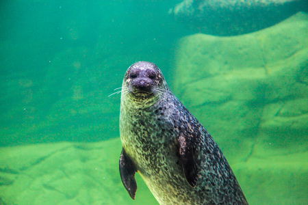 The sea lion waving his paw under the water. Klaipeda. Lithuania