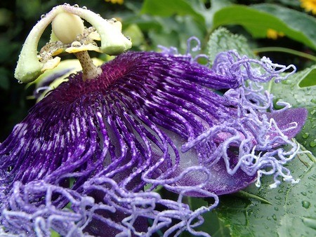 metaphysic: Close up of blue passion flower with green leaves Stock Photo