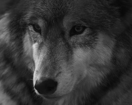 gray wolf black and white: Gray Wolf Portrait