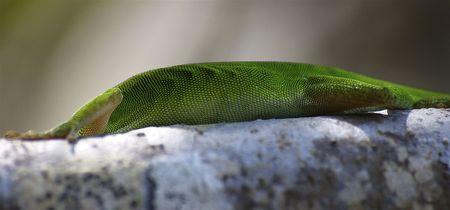 Ribs of a Tropical Green Lizard