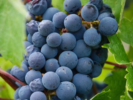 Close up of a bunch of grapes in vineyards