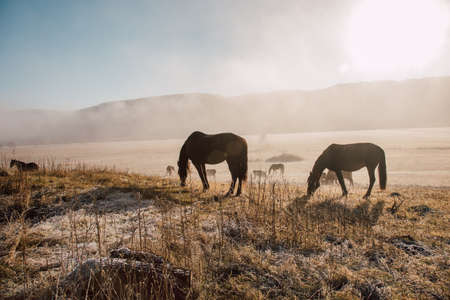 Pasture cows and horses in the early morning in the fog