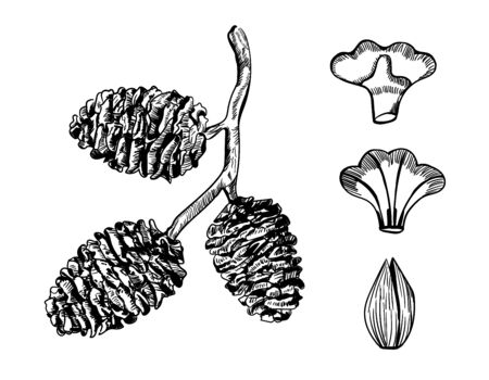 Hand drawn branch and seeds alder cone. Vintage black ink line of botanic elements. Drawing art sketch of forest plant on isolated background. Contour in freehand style. Vector stock illustration. Ilustración de vector