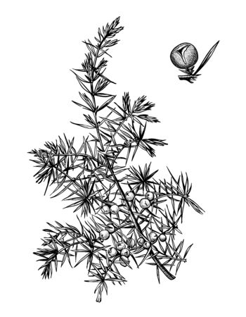 Hand drawn branch and berry of juniper. Drawing sketch of forest plant. Ink line botanic elements. Beauty, spa, cosmetic ingredient. Contour organic essential oil engraved. Vector stock illustration.