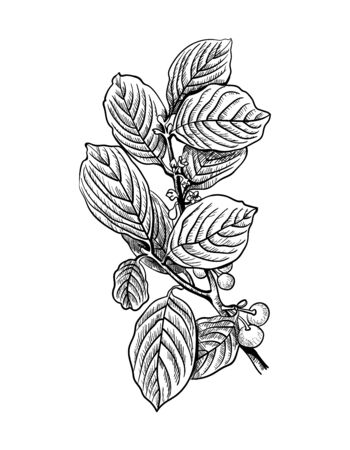 Hand drawn branch and berry of alder buckthorn, frangula alnus. Drawing sketch of forest plant. Ink line botanic herb elements. Cosmetic ingredient. Contour design engraved. Vector stock illustration.